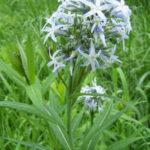 Blue Star - Amsonia tabernaemontana 5
