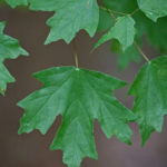 Southern Sugar Maple, Rock Maple, Florida Maple - Acer barbatum (A. saccharum ssp. floridanum; A. floridanum) 3