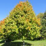 Black Maple, Black Sugar Maple - Acer nigrum (A. saccharum ssp. nigrum) 3