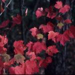 Red Maple, Scarlet Maple, Swamp Maple - Acer rubrum 4