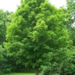 Sugar Maple, Rock Maple, Hard Maple - Acer saccharum ssp. saccharum (A. saccharum) 2