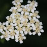 Yarrow, Common Yarrow - Achillea millefolium 2