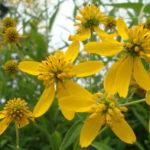 Wingstem, Yellow Crownbeard - Verbesina alternifolia (Actinomeris alternifolia)