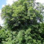 Ohio Buckeye, Fetid Buckeye - Aesculus glabra