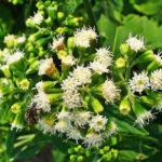 White Snakeroot - Ageratina altissima