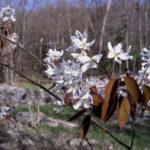 Common Serviceberry, Juneberry, Downy Serviceberry, Shadbush - Amelanchier arborea 3