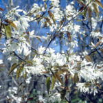 Allegheny Serviceberry, Smooth Serviceberry - Amelanchier laevis 2