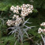Pearly Everlasting - Anaphalis margaritacea