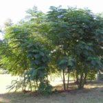 Devil's Walkingstick, Hercules Club Prickly Ash, Angelica Tree - Aralia spinosa 4