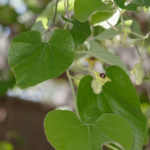 Wooly Pipevine, Common Dutchman's Pipe - Aristolochia tomentosa 3