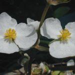 Sagittaria latifolia - Arrowhead, Duck Potato