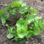 Heartleaf Ginger, Little Brown Jug - Hexastylis arifolia (Asarum arifolium)