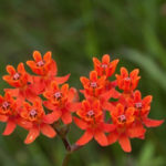 Fewflower Milkweed, Red Milkweed, Coastal Milkweed - Asclepias lanceolata