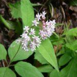 Fourleaf Milkweed - Asclepias quadrifolia