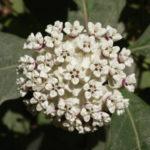 White Milkweed - Asclepias variegata 3