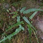 Walking Fern - Asplenium rhizophyllum (Camptosorus rhizophyllus) 2