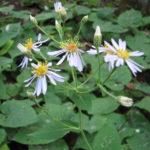 Big-leaved Aster - Eurybia macrophylla (Aster macrophyllus)