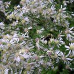 White Arrow-leaved Aster - Symphyotrichum urophyllum (Aster sagittifolius)