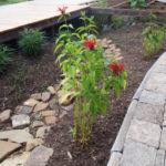 Scarlet Bee Balm, Oswego Tea - Monarda didyma 4