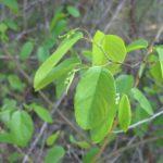 Alabama Supplejack, Rattanvine - Berchemia scandens 5