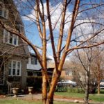 Yellow Birch - Betula alleghaniensis (B. lutea) 5