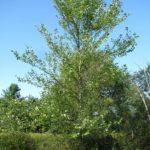 River Birch, Red Birch - Betula nigra 4