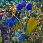 Blue Cohosh - Caulophyllum thalictroides 2