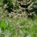 Blue Joint Grass, Bluejoint - Calamagrostis canadensis 2