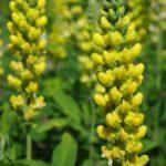 Blue-Ridge Buckbean, Aaron's Rod, Carolina Lupine - Thermopsis villosa 1