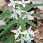 Cut-leavedToothwort, Toothwort - Carmine concatenata (Dentaria laciniata)