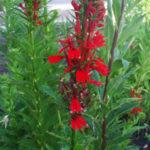 Cardinal Flower - Lobelia cardinalis 1