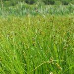 Fen Star Sedge, Dioecious Sedge, Sterile Sedge - Carex sterilis