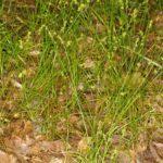 Texas Sedge, Catlin Sedge - Carex texensis