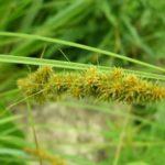 Fox Sedge, Brown Fox Sedge - Carex vulpinoidea