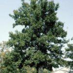 Bitternut Hickory, Swamp Hickory - Carya cordiformis 4