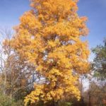 Pignut Hickory - Carya glabra 3