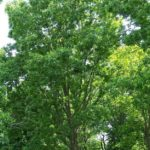 Pecan, Hardy Pecan - Carya illinoinensis 2