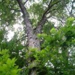 Shagbark Hickory - Carya ovata 2
