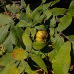 Mockernut Hickory, White Hickory, Big Bud Hickory - Carya tomentosa 2