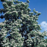 Southern Catalpa, Cigar Tree, Indian Bean - Catalpa bignonioides 4