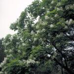 Northern Catalpa, Hardy Catalpa, Cigar Tree - Catalpa speciosa 3