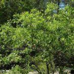 Dwarf Hackberry, Small Sugar Hackberry - Celtis tenuifolia (C. georgiana) 2