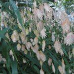 Upland Sea Oats, River Oats, Indian Woodoats Chasmanthium latifolium