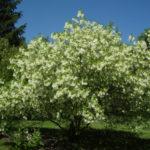 White Fringetree, Grancy Gray Beard, Old-man's-beard, Fringe Tree - Chionanthus virginicus 5