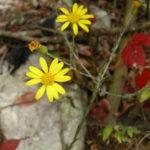 Maryland Golden Aster - Chrysopsis mariana (Heterotheca mariana) 2