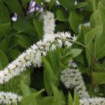 Cinnamon Clethra, Mountain Pepperbush - Clethra acuminata