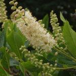 Sweet Pepperbush, Summersweet, Coastal Sweet Pepperbush - Clethra alnifolia