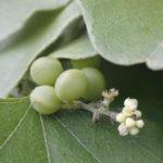 Carolina Snailseed, Coralbeads - Cocculus carolinus 3