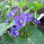 Common Blue Violet - Viola sororia (Viola papilionacea)