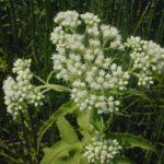Boneset, Common Boneset - Eupatorium perfoliatum